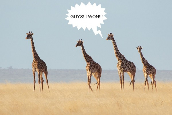 Giraffes winning competition in desert.jpg